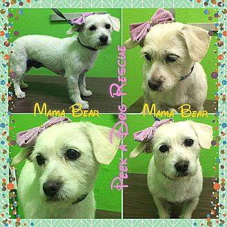 Terrier (Unknown Type, Small) Mix Dog for adoption in South Gate, California - Mama Bear
