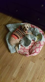 Poodle (Miniature) Dog for adoption in Spartanburg, South Carolina - Sunny in Rocky Mt NC