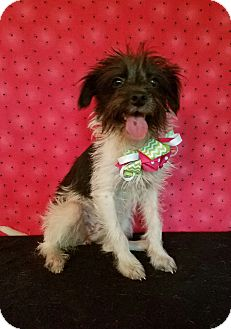 Terrier (Unknown Type, Small) Mix Dog for adoption in Vancouver, British Columbia - Penelope
