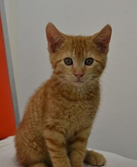 Domestic Shorthair Kitten for adoption in Knoxville, Iowa - ApriCAT