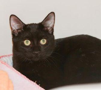 Domestic Shorthair/Domestic Shorthair Mix Cat for adoption in Greensboro, Georgia - Goober