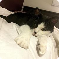 Adopt A Pet :: Peanut *declawed* - Toronto, ON