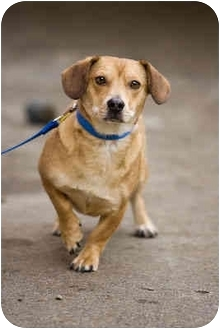 Dachshund/Corgi Mix Dog for adoption in Portland, Oregon - Spike