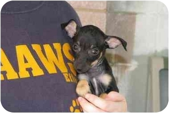 Chihuahua/Terrier (Unknown Type, Small) Mix Puppy for adoption in Baton Rouge, Louisiana - Kali