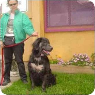 Newfoundland Mix Dog for adoption in Berkeley, California - Shiloh