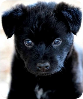 Cairn Terrier Mix Puppy for adoption in Pawling, New York - DUNCAN