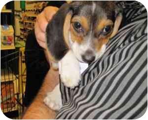 Beagle Mix Puppy for adoption in Alexandria, Virginia - Earl