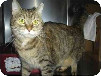 Domestic Shorthair Cat for adoption in Greenville, North Carolina - Chloe