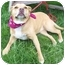 Photo 3 - American Pit Bull Terrier/American Pit Bull Terrier Mix Dog for adoption in Howes Cave, New York - Flower - On Hold