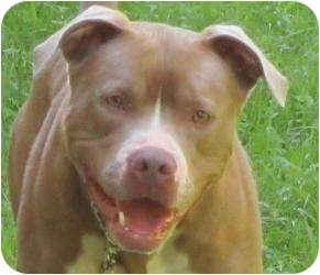 American Pit Bull Terrier Mix Dog for adoption in Bloomfield, Connecticut - Trapper