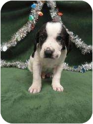 Hound (Unknown Type) Mix Puppy for adoption in Spruce Pine, North Carolina - Hudson