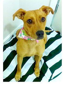 Labrador Retriever Mix Puppy for adoption in El Cajon, California - FAWNY