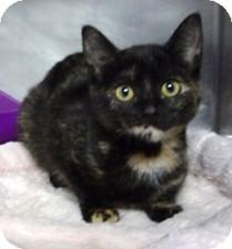 Domestic Shorthair Kitten for adoption in Milton, Massachusetts - Miracle