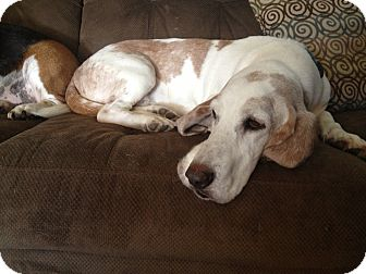Basset Hound Dog for adoption in Groton, Massachusetts - Fred