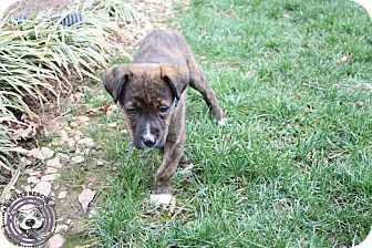 American Pit Bull Terrier/Labrador Retriever Mix Puppy for adoption in Atlanta, Georgia - Santana