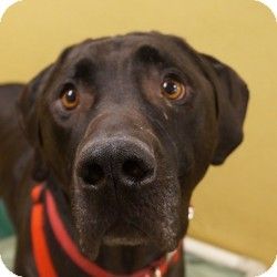 Labrador Retriever/Great Dane Mix Dog for adoption in Eatontown, New Jersey - Webster