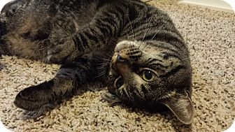 Domestic Shorthair Cat for adoption in Knoxville, Tennessee - Gus - DECLAWED