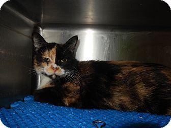 Calico Cat for adoption in Midland, Michigan - Mona