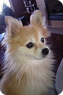 Pomeranian Dog for adoption in Norman, Oklahoma - Autumn