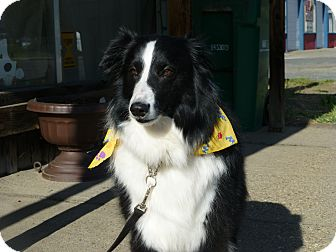 Sheltie, Shetland Sheepdog Dog for adoption in Quincy, California - Boomer