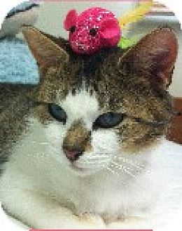 Domestic Shorthair Cat for adoption in Cincinnati, Ohio - Cricket