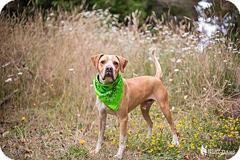 Hound (Unknown Type)/American Bulldog Mix Dog for adoption in Crescent City, California - Bruno