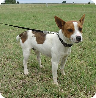 Jack Russell Terrier Mix Dog for adoption in Larned, Kansas - Marty