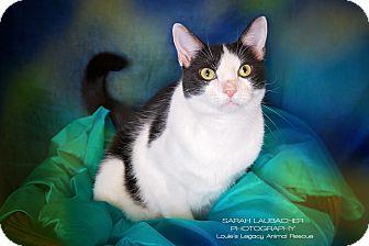 Domestic Shorthair Cat for adoption in Cincinnati, Ohio - Kwame