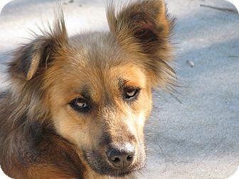 Collie/Shepherd (Unknown Type) Mix Dog for adoption in Groton, Massachusetts - Maxine