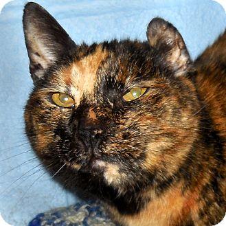Domestic Shorthair Cat for adoption in Hayden, Idaho - Trudy