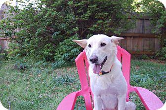 German Shepherd Dog Mix Dog for adoption in Middletown, Rhode Island - Snow