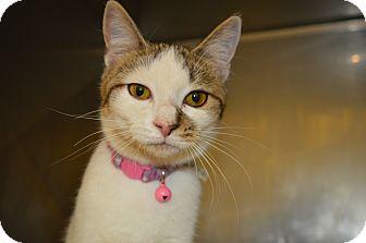 Domestic Shorthair Cat for adoption in Monroe, Michigan - Roxy