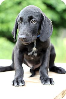 Labrador Retriever/Hound (Unknown Type) Mix Puppy for adoption in Waldorf, Maryland - Scooby