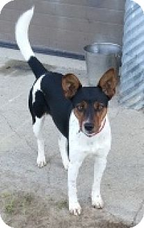 Cattle Dog/Jack Russell Terrier Mix Dog for adoption in Oberlin, Ohio - Hoot