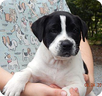 Border Collie/Shepherd (Unknown Type) Mix Puppy for adoption in Williamsport, Maryland - Kinko (8 lb) Video!