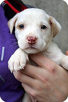 Spaniel (Unknown Type) Mix Puppy for adoption in West Nyack, New York - Savannah