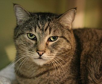 Domestic Shorthair Cat for adoption in Canoga Park, California - Tiger Lilly