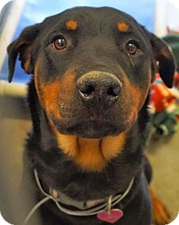Rottweiler Mix Dog for adoption in valley center, California - kyla