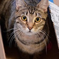 Domestic Shorthair Cat for adoption in Geneseo, Illinois - Roy