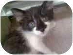 Domestic Shorthair Kitten for adoption in Proctor, Minnesota - Basil