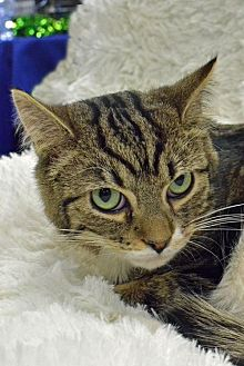 Domestic Shorthair Cat for adoption in Morgantown, West Virginia - Reede