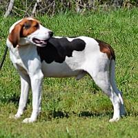 Adopt A Pet :: Duke - Lebanon, MO