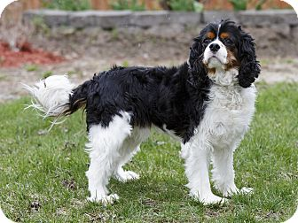 Cavalier King Charles Spaniel Dog for adoption in Ile-Perrot, Quebec - Walter