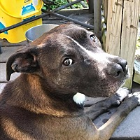 Pit Bull Terrier/Terrier (Unknown Type, Medium) Mix Dog for adoption in West Bloomfield, Michigan - Cashmere