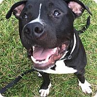 Adopt A Pet :: Tuxedo - Germantown, OH