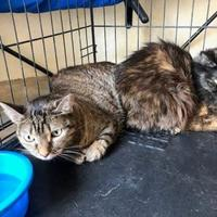Domestic Shorthair/Domestic Shorthair Mix Cat for adoption in West Monroe, Louisiana - Sissy