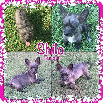 Chihuahua/Poodle (Miniature) Mix Puppy for adoption in East Hartford, Connecticut - Shilo meet me 8/11