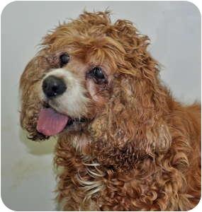 Cocker Spaniel Dog for adoption in Port Washington, New York - Betty