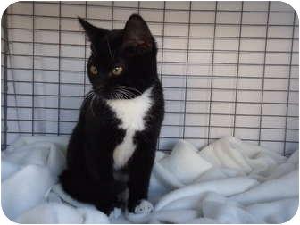 Domestic Shorthair Cat for adoption in Turlock, California - 1102-1120