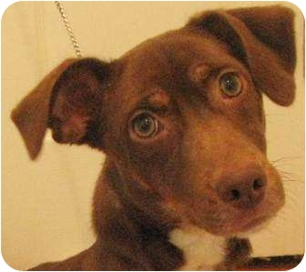 Dachshund Mix Puppy for adoption in Chapel Hill, North Carolina - Bean